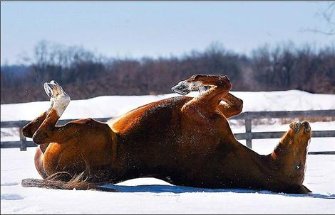 Horse_roll_in_snow
